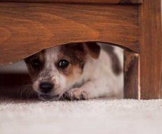 un cane nascosto sotto il letto avendo percepito un sisma
